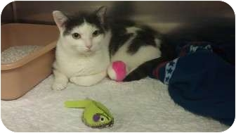 Domestic Shorthair Cat for adoption in Staten Island, New York - Mittens
