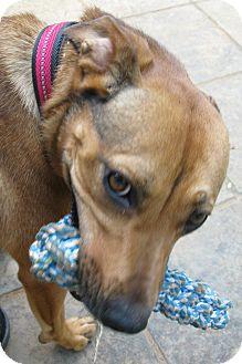 German Shepherd Dog/Terrier (Unknown Type, Medium) Mix Dog for adoption in Bedford, Virginia - Maizey
