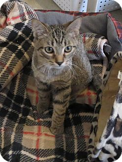 Domestic Shorthair Cat for adoption in Geneseo, Illinois - Wyatt
