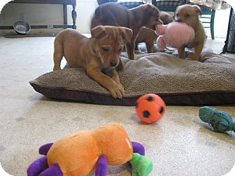 Shepherd (Unknown Type)/Boxer Mix Puppy for adoption in Morgantown, West Virginia - Ariat