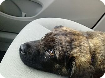 Australian Shepherd Mix Puppy for adoption in Gainesville, Florida - Bear Cub