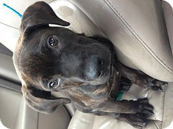 Mastiff/Great Dane Mix Puppy for adoption in Lancaster, Ohio - Maxwell