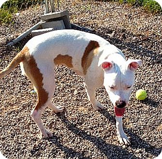 Pit Bull Terrier Mix Dog for adoption in Marion, Wisconsin - Tempest