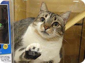 Domestic Shorthair Cat for adoption in Diamond Bar, California - DIAMOND