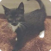 Domestic Shorthair Kitten for adoption in Miami, Florida - Morning