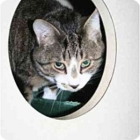 Adopt A Pet :: Tony: MAGNIFICENT CAT! - Quincy, MA