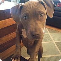Adopt A Pet :: Darcy - Adoption Pending - West Allis, WI