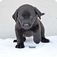 Adopt A Pet :: Topaz - Old Saybrook, CT