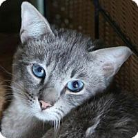 Adopt A Pet :: Lynx - Brimfield, MA