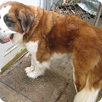 St. Bernard Dog for adoption in Sudbury, Massachusetts - Josephine -- ADOPTION PENDING
