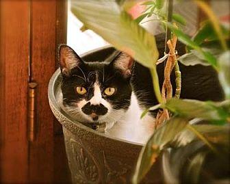 Domestic Shorthair Cat for adoption in Denver, Colorado - Claire