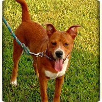 Labrador Retriever Mix Puppy for adoption in Charlotte, North Carolina - LUKE