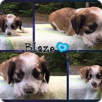 Adopt A Pet :: Blaze - Allentown, PA