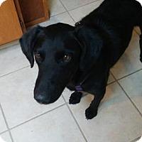 Adopt A Pet :: Roxy Roo - Salt Lake City, UT