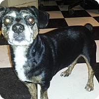 Chihuahua/Beagle Mix Dog for adoption in Iroquois, Illinois - Rambo