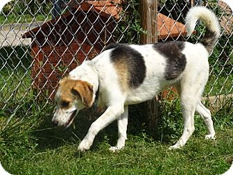 Beagle/Hound (Unknown Type) Mix Dog for adoption in Delaware, Ohio - Dolly