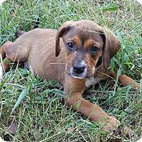 Adopt A Pet :: Tango - Duluth, GA