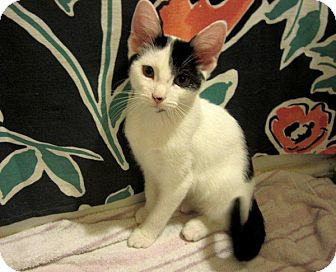 Domestic Shorthair Kitten for adoption in Columbus, Ohio - Ruby