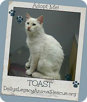 RagaMuffin Cat for adoption in Lincoln, Nebraska - TOAST