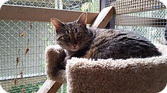 Domestic Shorthair Cat for adoption in Port Coquitlam, British Columbia - Helen