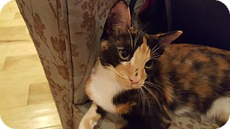 Domestic Shorthair Kitten for adoption in Huntsville, Alabama - Chita