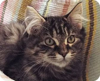 Domestic Longhair Kitten for adoption in Grants Pass, Oregon - Angel