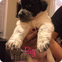 Spaniel (Unknown Type) Mix Puppy for adoption in Fort Atkinson, Wisconsin - Big Bertha