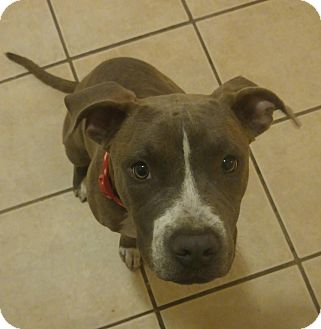 American Pit Bull Terrier Mix Puppy for adoption in Las Vegas, Nevada - Blue