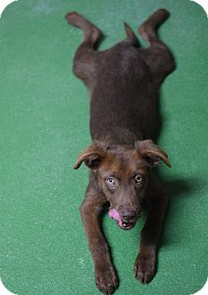 Spaniel (Unknown Type)/Labrador Retriever Mix Puppy for adoption in Manhattan, New York - Charlie
