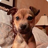 Adopt A Pet :: Brienne - Memphis, TN