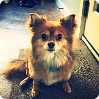Pomeranian/Chihuahua Mix Dog for adoption in Austin, Texas - Stuart