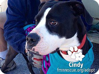Labrador Retriever/American Staffordshire Terrier Mix Dog for adoption in Sarasota, Florida - Cindy