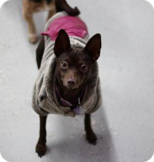 Chihuahua Dog for adoption in Phoenix, Arizona - Ruth