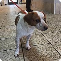 Adopt A Pet :: Goofy - Plainfield, CT
