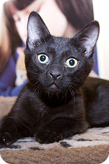 Domestic Shorthair Kitten for adoption in Irvine, California - Binks
