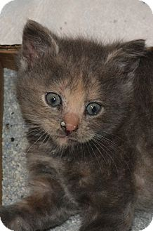 Domestic Shorthair Kitten for adoption in Island Park, New York - Sweet