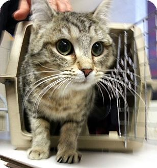 Domestic Mediumhair Kitten for adoption in Alexandria, Virginia - Skeeter