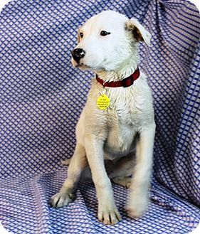 "Labrador Retriever Mix Puppy for adoption in Westminster, Colorado - Bismark Sea ""Busy"""