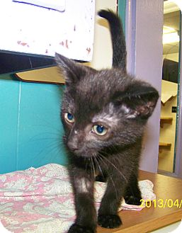 Domestic Shorthair Kitten for adoption in Dover, Ohio - Kiki