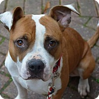 Adopt A Pet :: Scully - Greensboro, NC