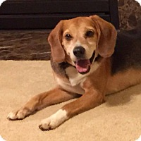 Beagle/Labrador Retriever Mix Dog for adoption in Norfolk, Virginia - Elvis