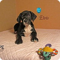 Adopt A Pet :: Elvis - Godfrey, IL