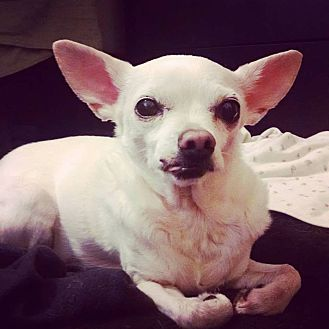 Chihuahua Dog for adoption in Long Beach, New York - Nila