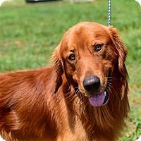 Adopt A Pet :: Culligan - New Canaan, CT
