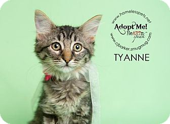 Domestic Mediumhair Kitten for adoption in Houston, Texas - . Tyanne .