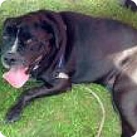 Mastiff/Bulldog Mix Dog for adoption in Ossipee, New Hampshire - Biggie