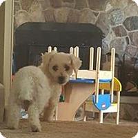 Bichon Frise Dog for adoption in ROME, New York - Cinderella