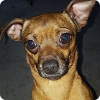 Chihuahua/Dachshund Mix Dog for adoption in Seminole, Florida - Gator