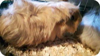 Guinea Pig for adoption in Simcoe, Ontario - Gismo