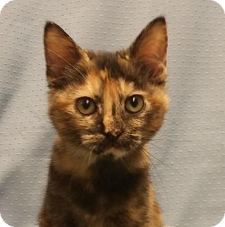 Domestic Shorthair Kitten for adoption in Greenville, Illinois - Amelia